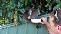 How long do koalas live? How old is the oldest known koala? (Australia)