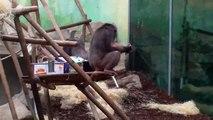 Gorillas-Chimpanzees-Mandrills-Munich Zoo/Gorillas Schimpansen Mandrills/Tierpark Hellabrunn
