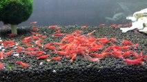 Cherry / Sakura / High Grade Sakura Shrimp Tank