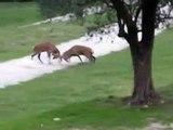 Animal fight: deer vs. deer vs. fallow deer in front on my door