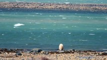 Polar Bear Swimming in Hudson Bay, Churchill Manitoba