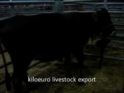 cattle for sale 1.wmv