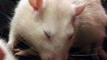 Cutest pet rats adorably cuddling up