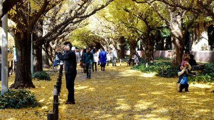 L'avenue Namiki et ces Ginkgos dorés