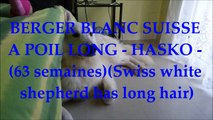 BERGER BLANC SUISSE A POIL LONG - HASKO - (63 semaines)(Swiss white shepherd has long hair)
