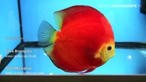 Discus Fish Classification: Solid Red and Solid discus (groups G and H) - Aquatics Live 2012, pt.15
