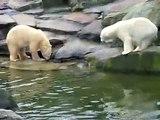 Eisbärenfütterung im Zoo Berlin / Polar Bears at feeding Time in the Zoo in Berlin