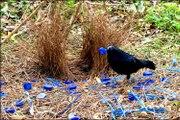 Saten Çardak Kuşunun Çardak Yapma Çabası