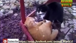 Two Cats Fight To Death !