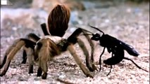 Black Wasp (Sphex pensylvanicus) VS Giant Spider fight to death