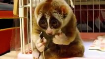 Loris Eating Rice Ball Funny Animal Videos