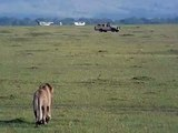 """Lion attacks buffalo (Masai Mara, Kenya) (Safari Videos)"""" ."""
