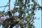 BALD EAGLES 3 EAGLETS WRECKING THE NEST, CRAZY