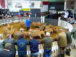 Castle Douglas – livestock market – sheep sale