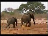 الأسود تهاجم الفيل ثم تأكله .. فيديو مدهش