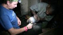 Doudou et Jack, nouveaux arrivants au centre de réhabilitation de Tchimpounga