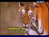 Comel] Anak Harimau vs Anak Singa - video dailymotion