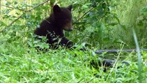 May 17, 2014- Sugar Bear, Sweet Pea, Bucky and Cee Cee in the Wild Enclosure