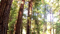 Science Today: Coastal Redwoods and Climate Change | California Academy of Sciences