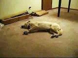 [Funny Dog] Bizkit the Sleep Walking Dog