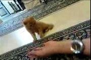 Persian Cat گربه ایرانی پیشی