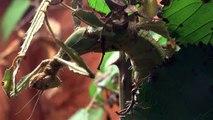 Extatosoma tiaratum - Australische Gespenstschrecke