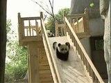 Cute Pandas Playing on the Slide | Cuteness Overload