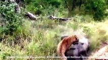 National Geographic Documentary Wild Animals attack National Geographic Animals 2015