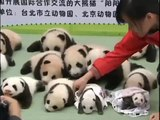 Cute and cuddly baby pandas playing and eating #panda #cute #cuddly
