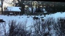 Deer Raiding Bird Feeders - Prequel 1