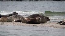 Harbor seals at a beach of düne (heligoland) / Seehunde am Strand der Insel Düne (Helgoland)