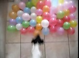 Jack Russell Terrier Vs Balloon