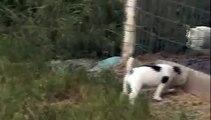 Parson Russel Terrier 7 weeks