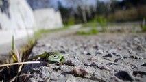 Lacerta viridis basking