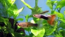 NEW ALGAE EATERS. 2x Siamese Flying Foxes/ Algae Eaters & 2 Chinese Algae Eaters.