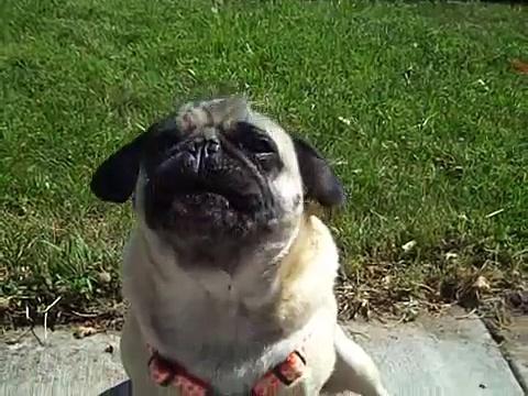 "Mischief the ""Singing"" Pug!"