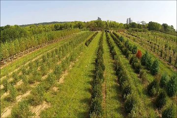 Plant Spacing For Emerald Green Arborvitae and other Evergreens