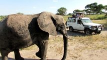 Elephant Tarangire Pipi Caca