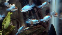 ELECTRIC BLUE RAMS !!! At Tyne Valley Aquatics - top shop for tropical fish in the north east