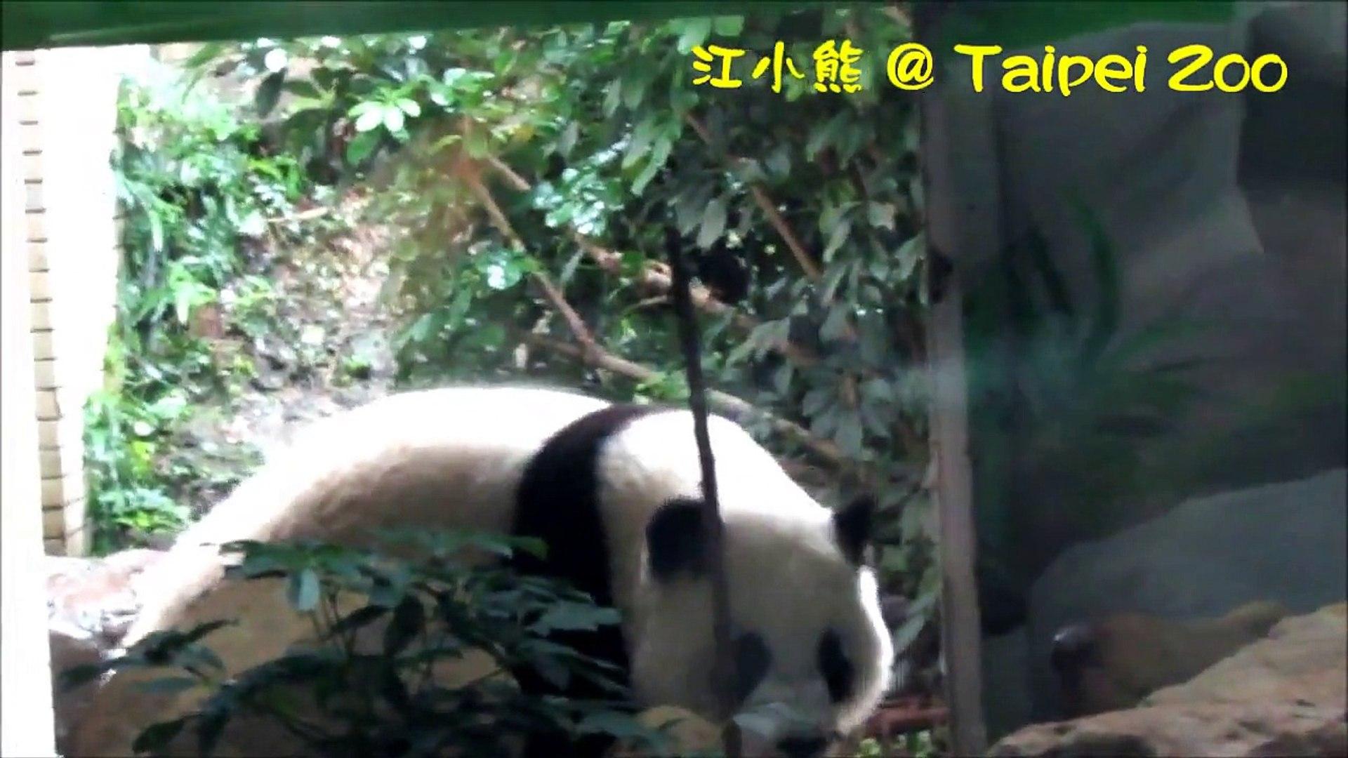2014-12-28 圓仔在門口徘迴就是不肯出門去。。。 The Giant Panda Cub Yuan-Zai