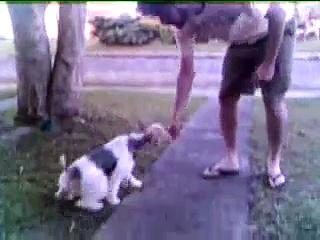 Fox Terrier tricks