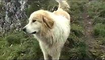 Protection d'un troupeau de brebis par un chien patou - Col de Caube - Pyrénées - Haute Garonne