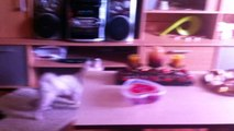 Bichon Maltese - Barking at audio system