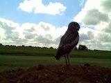 Impressive Footage I Filmed of a Burrowing Owl