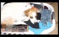 Dog whisperer คู่มือรู้จักสุนัข ตอน Molly (Jack Russell Terrier Mix)