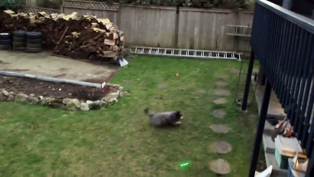 Crazy Pup Chases Laser Pointer!