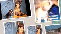 Jones Chihuahuas Sophie's Chihuahua Pups AT Thirty Nine Days Old