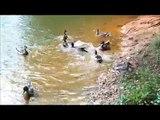 Funny Wild Ducks Feeding Frenzy, Funny Watersports fighting. Scream for it. Water sports wildlife