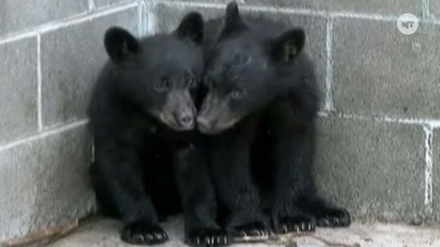 Canadian Officer Refuses To Kill Bear Cubs, Becomes A National Hero