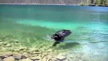 Newfoundland Dog Swimming in Spring Lake, British Columbia Canada